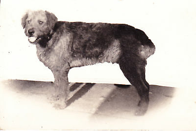 Airedale Terrier Real Photographic Dog Postcard
