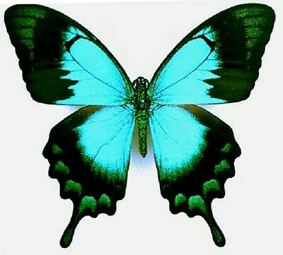 One Real Butterfly Blue Green Papilio Lorquinianus Unmounted Wings Closed