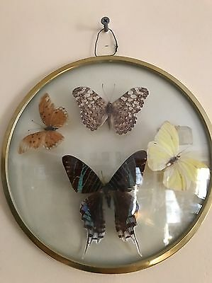 MOUNTED TAXIDERMY REAL BUTTERFLIES GLASS CLEAR Dome FRAME made in BRAZIL