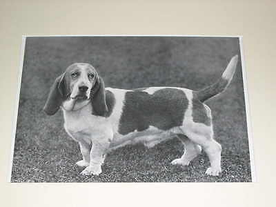 Rare Large Antique Basset Hound Dog Print 1939 Matted