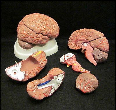 NEW LIFE SIZE 8 PART HUMAN BRAIN with ARTERIES ANATOMICAL ANATOMY MODEL