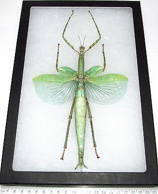 Real Framed Green Walking Stick Bug Huge Giant 12In X 8In Frame! Indonesia
