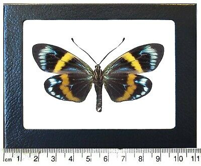 Real Framed Day Flying Moth Blue Green Yellow Eterusia Repleta Verso