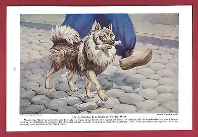 1943 Dog Print Illustration ~ KEESHONDEN ~Netherlands breed ~Art by Walter Weber