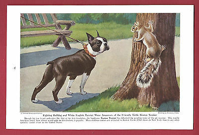 1943 Dog Print Illustration~BOSTON TERRIER~Friendly, Little ~Art by Walter Weber