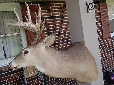 Whitetail Deer Shoulder Mount Buck Horns Antlers Taxidermy