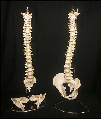 Life Size Flexible Anatomical Human Spine Model with Removable Pelvis + Stand