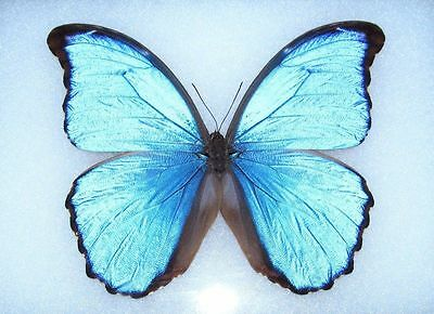 Ten Real Butterfly Blue Peruvian Morpho Didius Unmounted Wholesale Wings Closed
