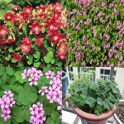 10Pcs Shamrock Oxalis Triangularis Bulbs Perennial Leaf Flower Seeds Easy Grow