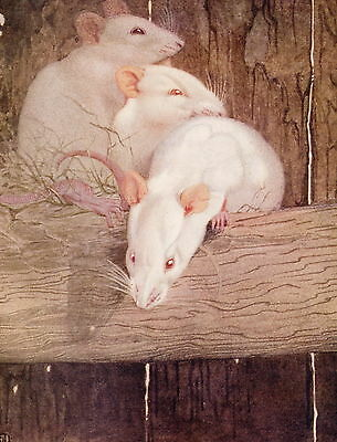 Vintage Detmold Art Print Animals Rodents Baby White Rat Rats Nest Babies