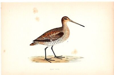 Great Snipe Bird Hand-Colored Vintage Antique Art Print