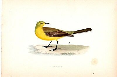 YELLOW WAGTAIL 1800s Hand-Tinted Engraving BIRD COLOR ANTIQUE ART PRINT