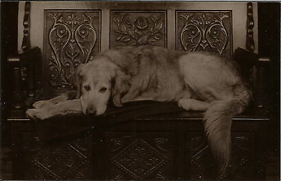 Golden Retriever Real Photographic Dog Postcard Sutcliffe Whitby ?