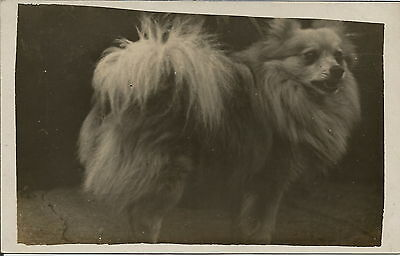 Pomeranian Spitz Real Photographic Dog Postcard