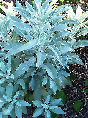 250+ White Sage SEEDS  / Indian Herb/ grow your own!! Salvia Apiana Packed 2017!