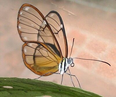 One Real Butterfly South American Clear Glass Wing Unmounted Wings Closed