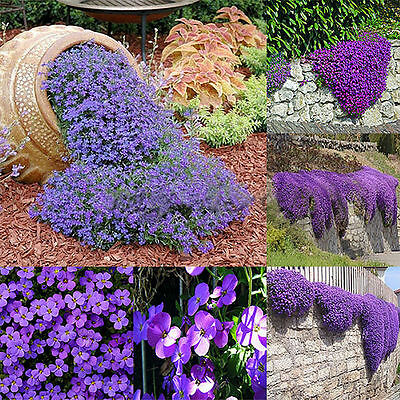 220pcs Aubrieta Seeds Purple Linaceae Flower Seeds Ground Home Garden Decor New