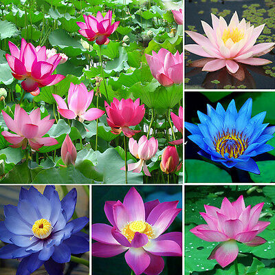 10 X Bonsai Lotus Water Lily Flower Bowl Pond Fresh Seeds Perfume Blue Lotus