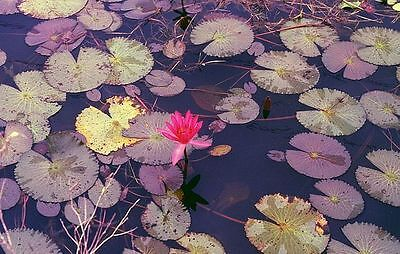 Nymphaea rubra RED TROPICAL WATER LILY SEEDS