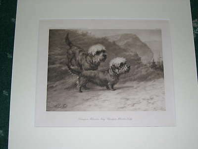 Large Antique Dandie Dinmont Terrier Dog Print 1905 By Maud Earl Named Dogs