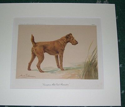 "Large Antique Irish Terrier Dog Print 1905 By Maud Earl  Named Dog ""ch. Mile"""
