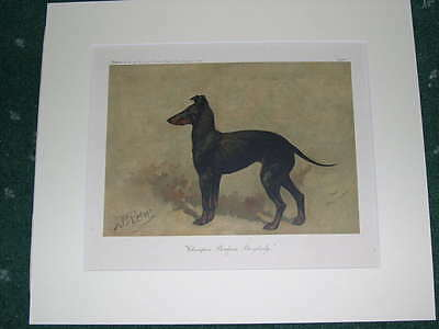 Large Antique Manchester Terrier Dog Print 1905 By John Emms Named Dog Ch Benham