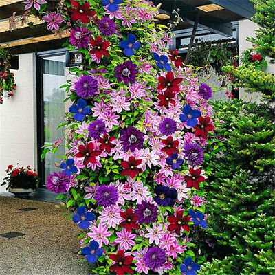 50 seeds 24 colours clematis clematis climbing plants Home Yard Garden flower