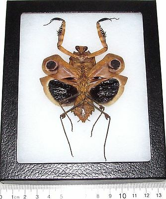 Real Framed Praying Mantis Deroplatys Dessicata Black Death Mantis Female Light