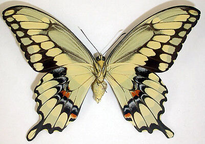 One Yellow Arizona Giant Swallowtail Papilio Cresphontes Unmounted Wings Closed