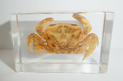 Chinese River Crab Potamon denticulatum in Clear Paperweight Education Specimen