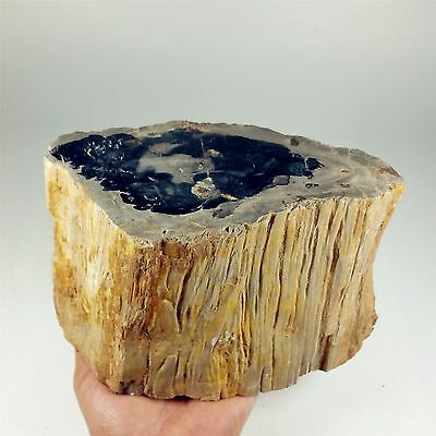 "7.48"" 3915g Polished PETRIFIED WOOD BRANCH Fossil Madagascar A1454"