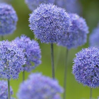 10 x Humphreys Garden  Allium Caeruleum Bulbs. Easy to grow spring flowers