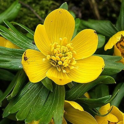10 x Humphreys Garden Winter Aconites - Eranthis Hyemalis Bright Yellow Flowers
