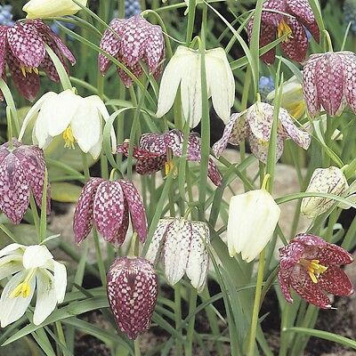 20 x Humphreys Garden Fritillaria Meleagris Bulbs. Easy to grow. Spring Flowers