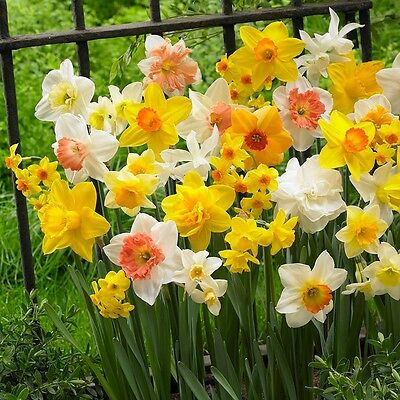 20 x Mixed Cornish Daffodil bulbs,Double flower Early Spring bulbs. Easy to Grow