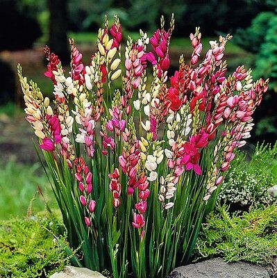 20 x Humphreys Garden Mixed Ixias Bulbs.African Corn Lily Pretty Spring Flowers