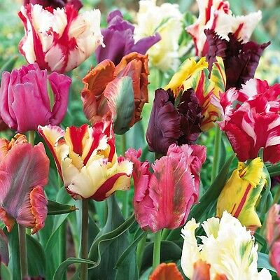 10 x Mixed Parrot Tulip Bulbs.Stunning Mixed blooms.Easy to grow.Spring Flowers