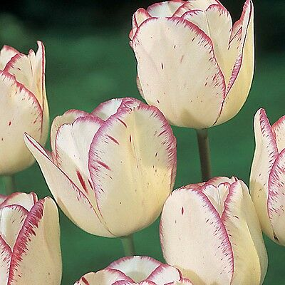 10 x Shirley Tulip Bulbs.Stunning Ivory White blooms.Easy to grow.Spring Flowers