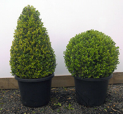 JAPANESE BOX TOPIARY DOMES 40cm POT SIZE