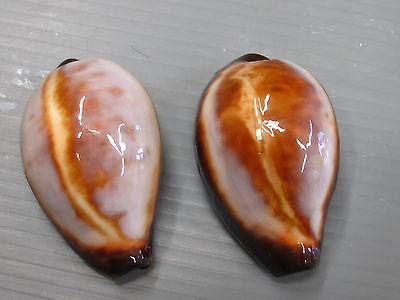 CYPRAEA ONYX - SELECTED SET OF 2 JAPAN 45 and 45 mm GEM - A3135