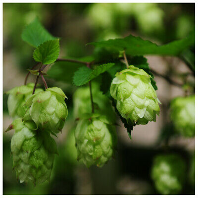 Humulus Lupulus / Common Hop in 2L Pot, Make Your Own Beer!