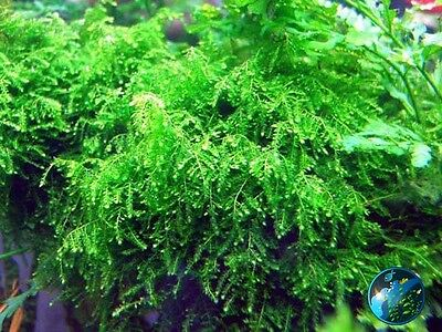 Weeping Moss-for live fish plecos discus tank plant BH