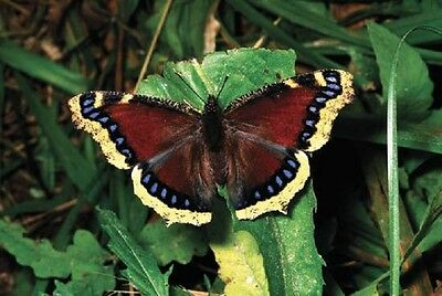 One Real Butterfly North American Mourning Cloak Unmounted Wings Closed