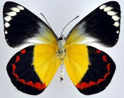 One Real Butterfly Red Yellow Delias Timorensis Unmounted Papered Wings Closed
