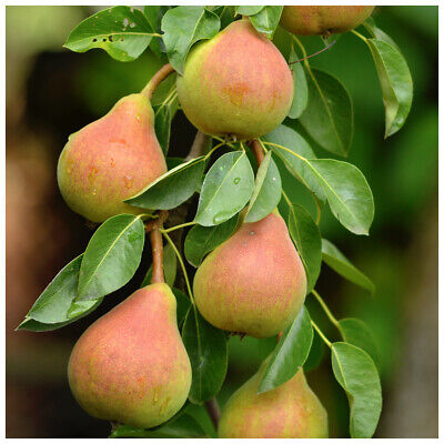Doyenne Du Comice Pear Tree 4-5ft, Dessert Pear With Fine Flavour