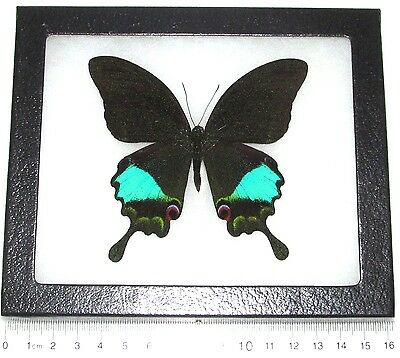 Real Framed Butterfly Blue Green Papilio Paris Swallowtail Indonesia