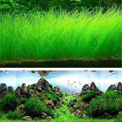 Fish Tank Aquarium Plant Seeds Aquatic Water Grass Decor Garden Foreground Plant