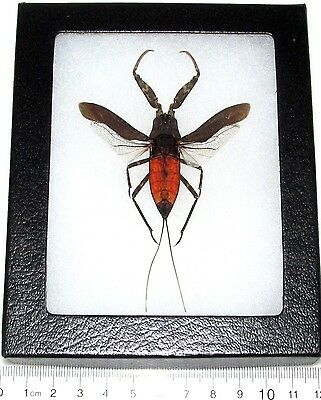 Real Framed Red Toe Biter Aquatic Insect Nepa Rubra Indonesia