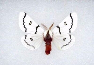 One Hemileuca Neumogeni Male Arizona Wings Closed Unmounted Papered