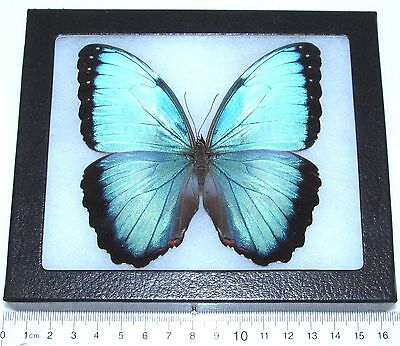 Real Framed Butterfly Blue Morpho Helenor Peleides